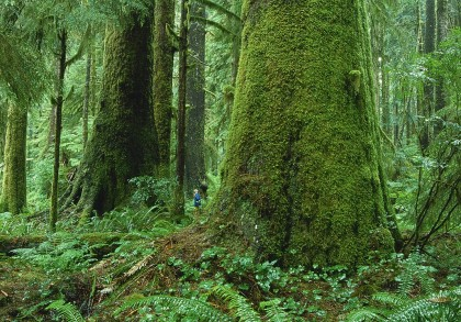 Lush Old Growth Forests around the Tofino Peninsula